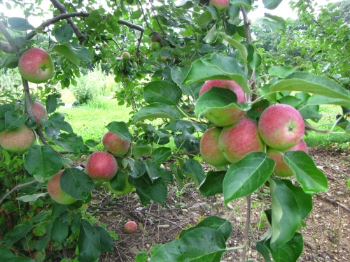 The McIntosh apples are sizing up nicely at Buell's Orchard in Eastford, Connecticut, and should be ready for picking on or near New England Apple Day September 3. (Russell Steven Powell photo)