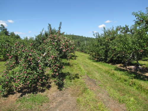 McIntosh apple ripening at Pine Hill Orchard in Colrain, Massachusetts (photo by Russell Steven Powell)