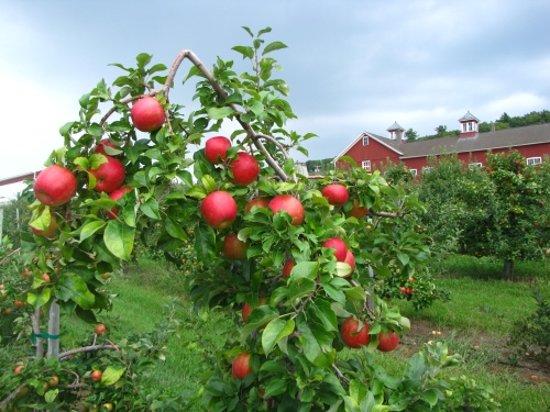 The University of Massachusetts Cold Spring Orchard in Belchertown features more than 100 apple varieties, including many New England natives. (Russell Steven Powell photo)