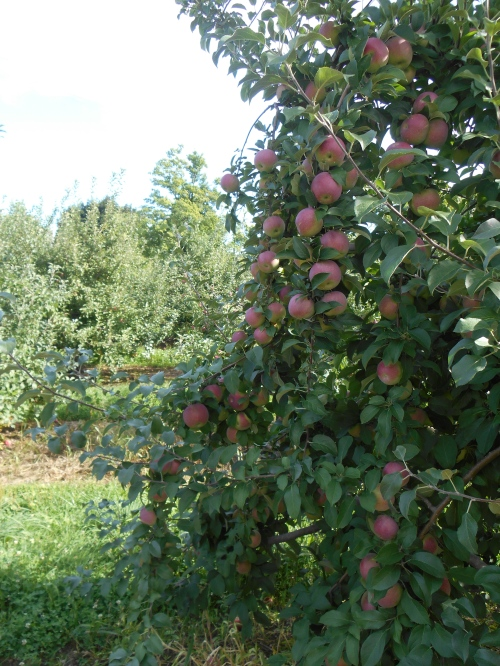 Jonamac apples at Clearview Farm in Sterling, Massachusetts. (Bar Lois Weeks photo)