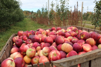 Cortland apples, Boothby's Orchard and Farm, Livermore, Maine (Bar Lois Weeks photo)