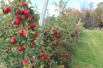 Honeycrisp apples, Boothby's Orchard and Farm, Livermore, Maine (Bar Lois Weeks photo)