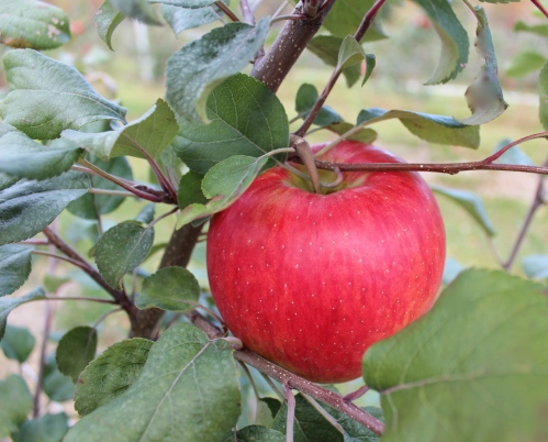 Honeycrisp apple, Boothby's Orchard and Farm, Livermore, Maine (Bar Lois Weeks photo)