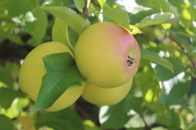 Golden Delicious apples, Lanni Orchards, Lunenburg, Massachusetts (Bar Lois Weeks photo)