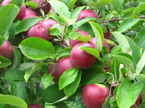 There is plenty of good picking at New England orchards like Red Apple Farm in Phillipston, Massachusetts (Russell Steven Powell photo)