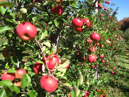 Topaz apples, Tougas Family Farm, Northborough, Massachusetts (Russell Steven Powell photo)