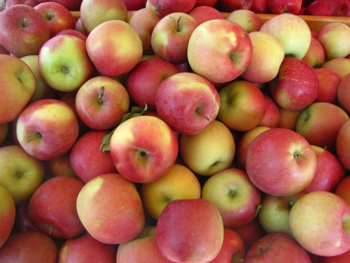 Fuji apples, Tougas Family Farm, Northborough, Massachusetts (Russell Steven Powell photo)