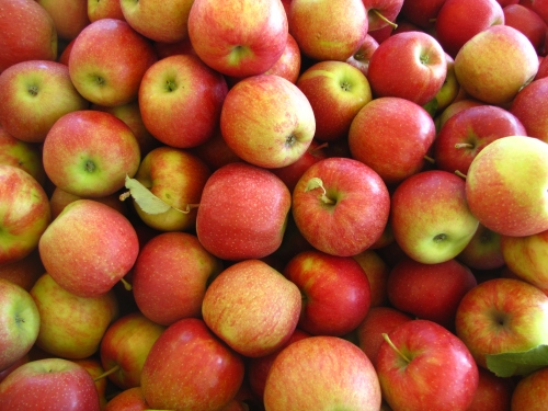 "Jonagold apples are labeled ""Better than Honeycrisp"" at Tougas Family Farm, Northborough, Massachusetts (Russell Steven Powell photo)"