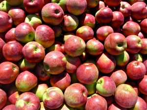 Macoun apples, Steere Orchard, Greenville, Rhode Island (Russell Steven Powell photo)
