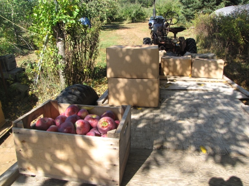 Macoun apples, Hill Orchards, Johnston, Rhode Island (Russell Steven Powell photo)