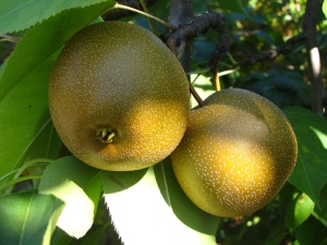 Asian pears, Hill Orchards, Johnston, Rhode Island (Russell Steven Powell photo)