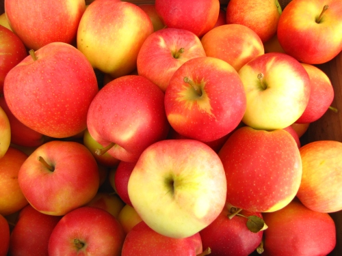 Gala apples, Dame Farm and Orchard, Johnston, Rhode Island (Russell Steven Powell photo)