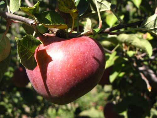 Macoun apple, Dame Farm and Orchard, Johnston, Rhode Island (Russell Steven Powell photo)