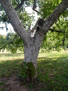 Phantom Farms apple tree, Cumberland, Rhode Island (Russell Steven Powell photo)
