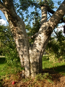 Apple tree, Phantom Farms, Cumberland, Rhode Island (Russell Steven Powell photo)