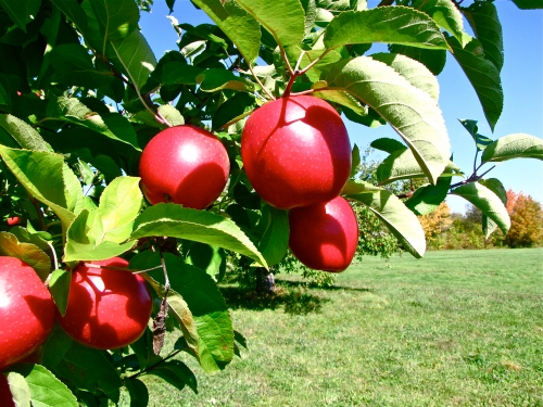 Spencer apples, Brookfield Orchards, North Brookfield, Massachusetts (Russell Steven Powell photo)