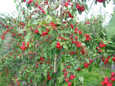 Crabapples, planted primarily for pollination purposes, Ragged Hill Orchard, West Brookfield, Massachusetts (Russell Steven Powell photo)