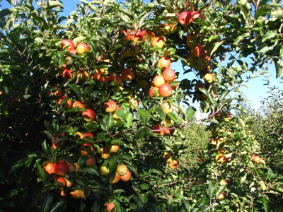Gala apples, Boothby's Orchard and Farm, Livermore, Maine (Russell Steven Powell photo)