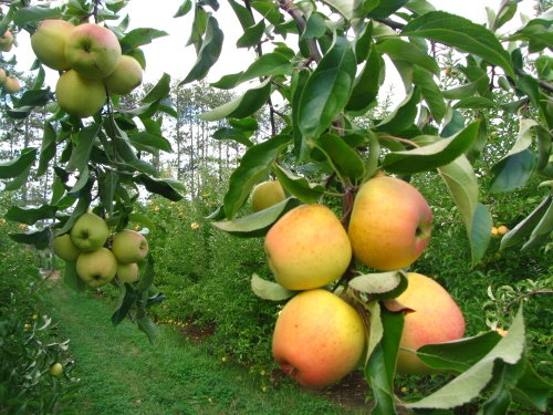 Golden Delicious, a late-season West Virginia apple shown here at Lanni Orchards in Lunenburg, Massachusetts, is nearly ready for picking in New England orchards. (Russell Steven Powell photo)