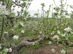 Apple blossoms, Cold Spring  Orchard, Belchertown, Massachusetts (Russell Steven Powell photo)