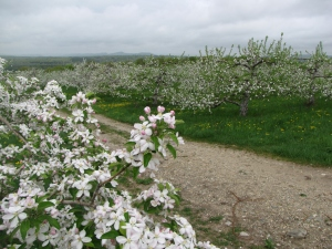 Apple blossoms, Atkins  Farms, Amherst, Massachusetts (Russell Steven Powell photo)