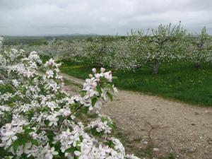 Apple blossoms, Atkins Farms, Amherst, Massachusetts (Russell Steven Powell photo)