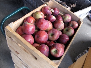 Cortland apples, Green Mountain Orchards, Putney, Vermont (Russell Steven Powell photo)