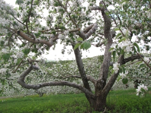 Apple blossoms, Green Mountain Orchards, Putney, Vermont (Russell Steven Powell photo)