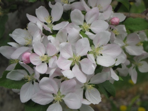 Apple blossoms, Alyson's Orchard, Walpole, New Hampshire (Russell Steven Powell photo)