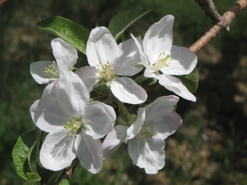 Apple blossoms, Pine Hill Orchards, Colrain, Massachusetts (Russell Steven Powell photo)