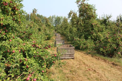 Fairview Orchards in Groton, Massachusetts, is already picking Galas, and will begin harvesting these McIntosh next week. (Russell Steven Powell photo)