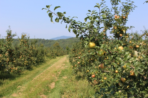 The Honeycrisp are plentiful at Wellwood Orchards in Springfield, Vermont. They will not be ready for picking for another week or so, but Wellwood will be picking Macs and Cortlands this weekend. (Russell Steven Powell photo)