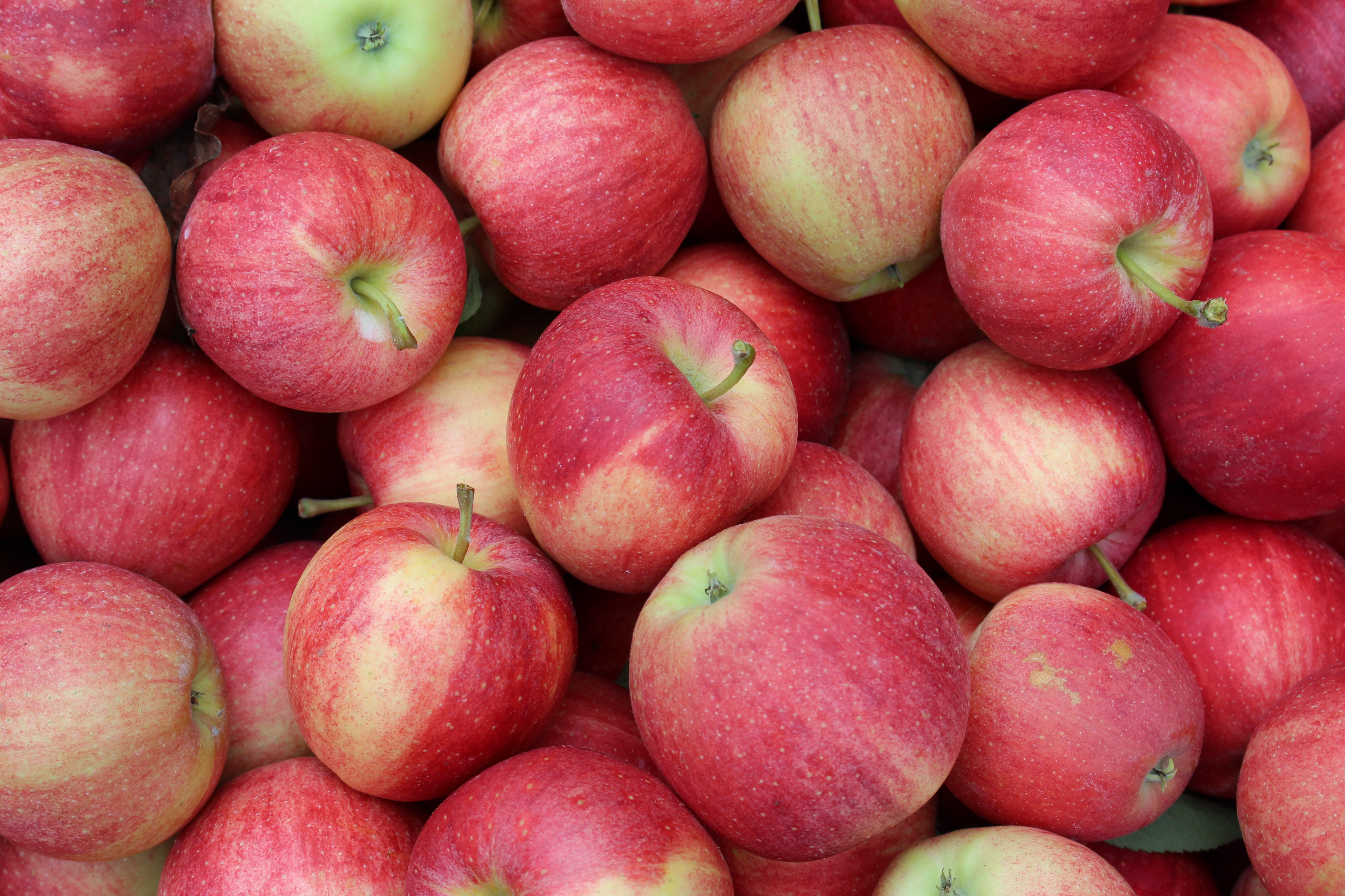 Red Delicious Apple New England Apples