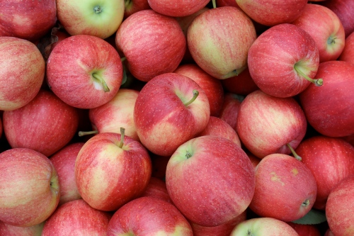 A bin of fresh-picked Gala apples at Fairview Orchards in Groton, Massachusetts. (Russell Steven Powell photo)