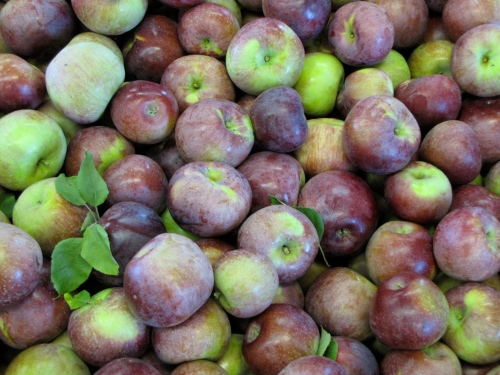 A bin of Macoun apples. (Russell Steven Powell photo)